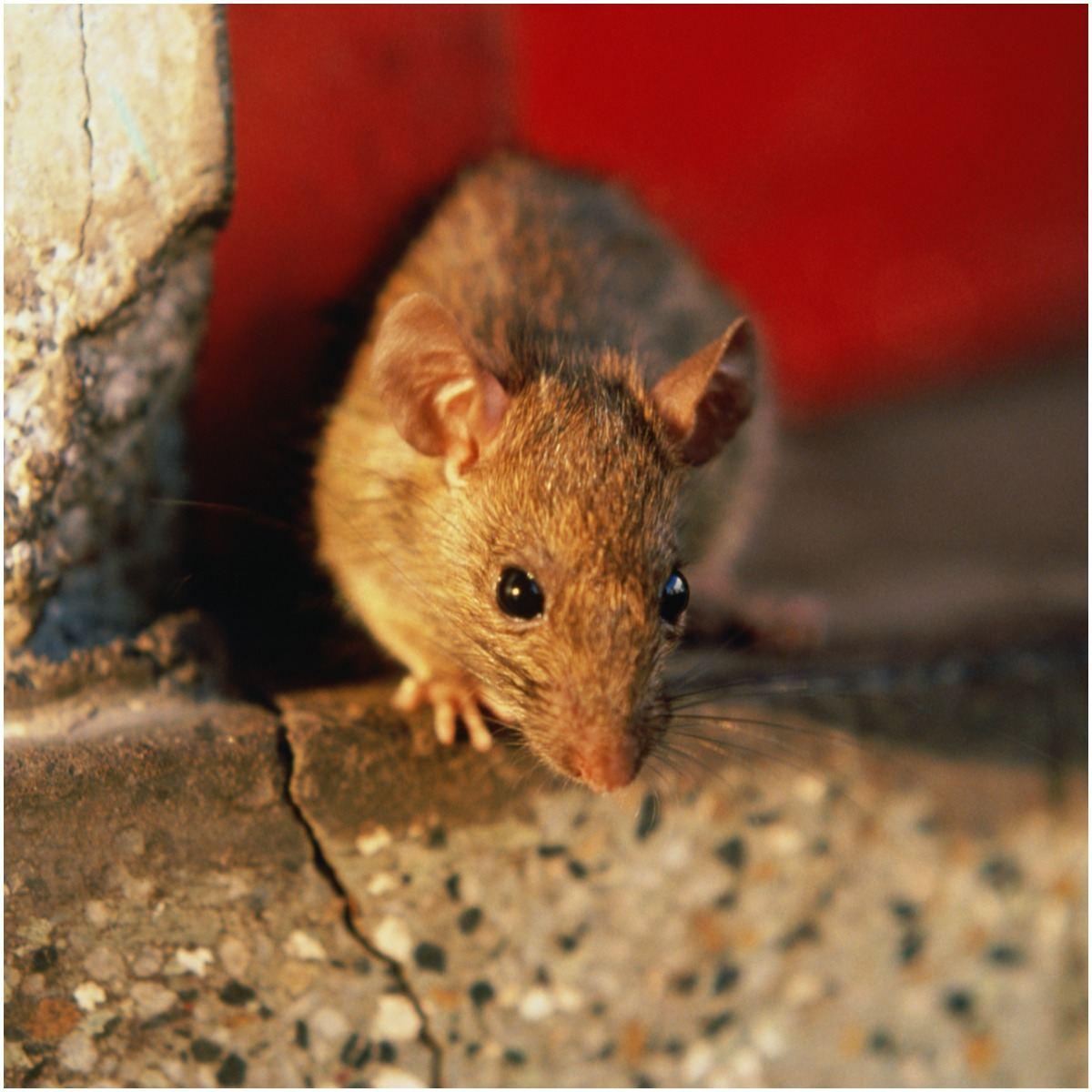 Rat Symbolism, Dreams, and Messages