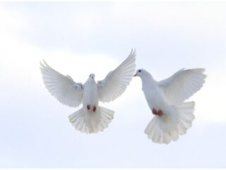 Spiritual Meaning of a Pair of Doves + 10 Interesting Facts