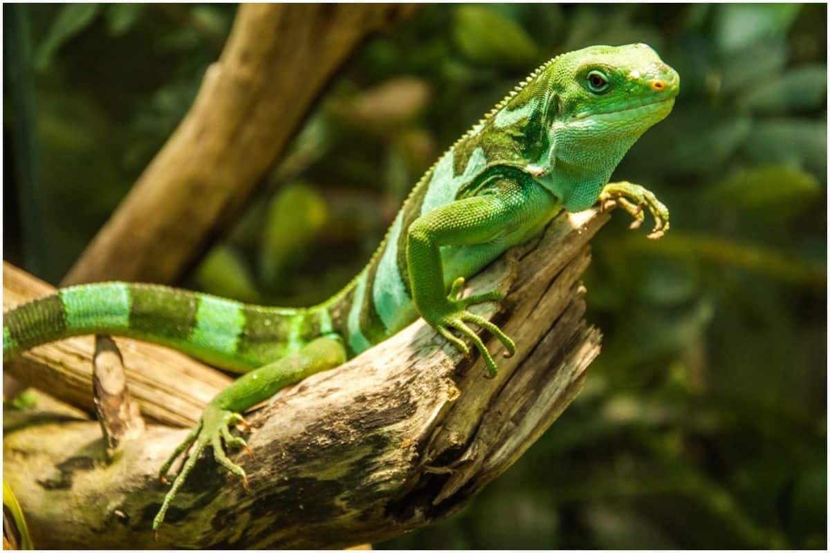 Lizard – Spiritual Meaning