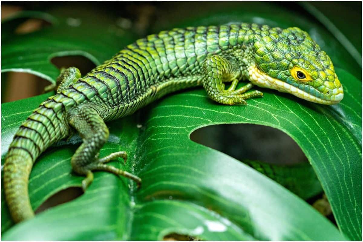 Lizard Spiritual Meaning