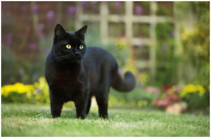Spiritual Meaning of Black Cat Crossing Your Path