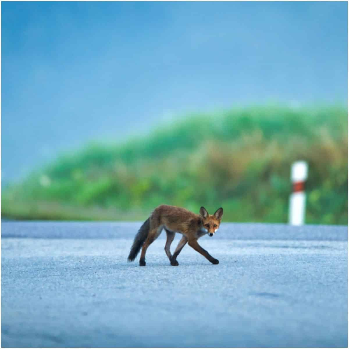 Spiritual Meaning of Fox Crossing Your Path (2)