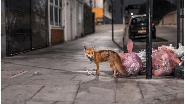 Spiritual Meaning of Fox Crossing Your Path + Dream Interpretation