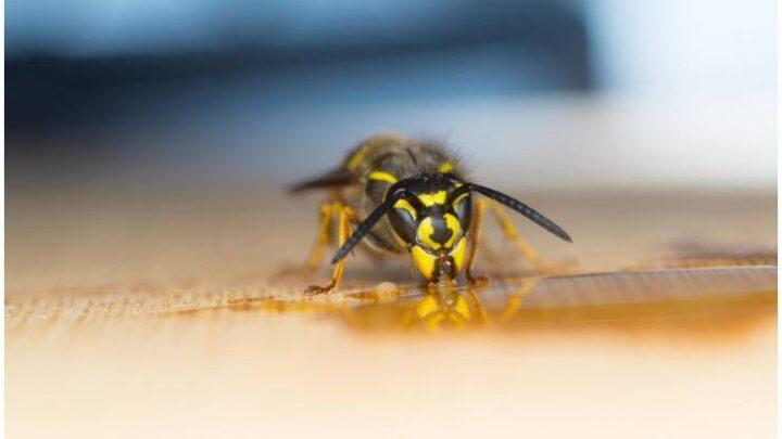Wasp – Spiritual Meaning | Legends + Dream Interpretation