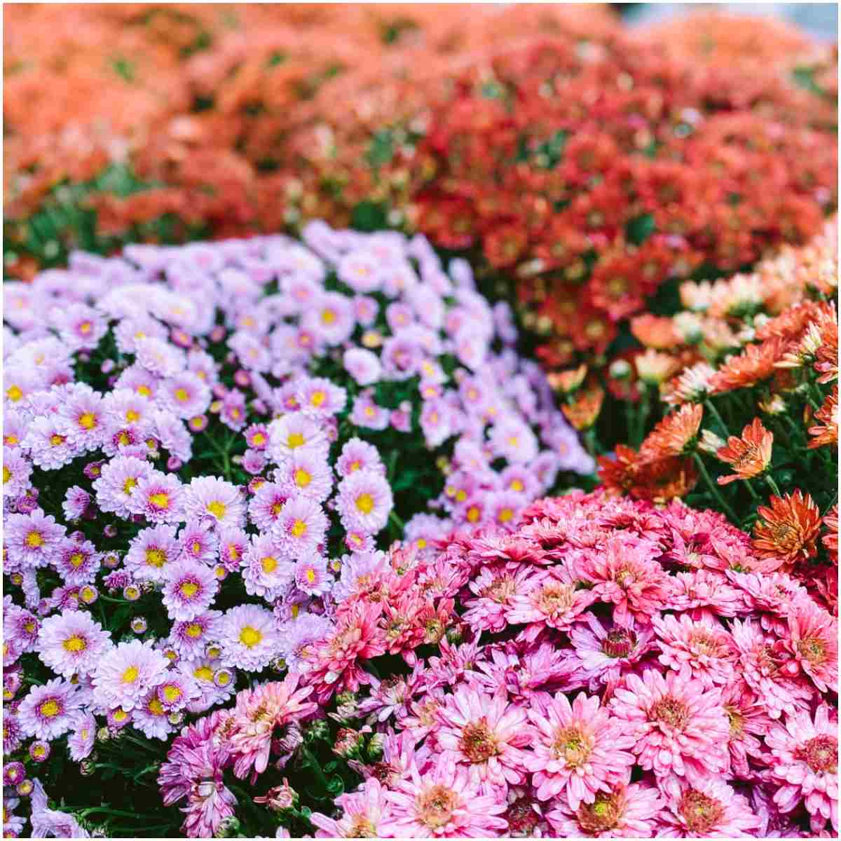Chrysanthemum Plant That Create Positive Energy In Your Home