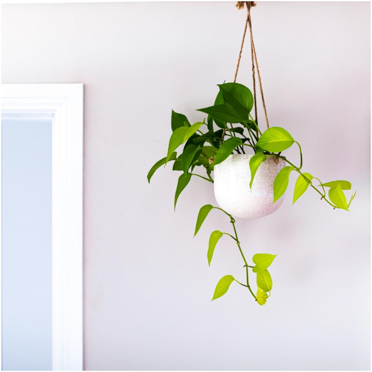 English Ivy Plant That Create Positive Energy In Your Home