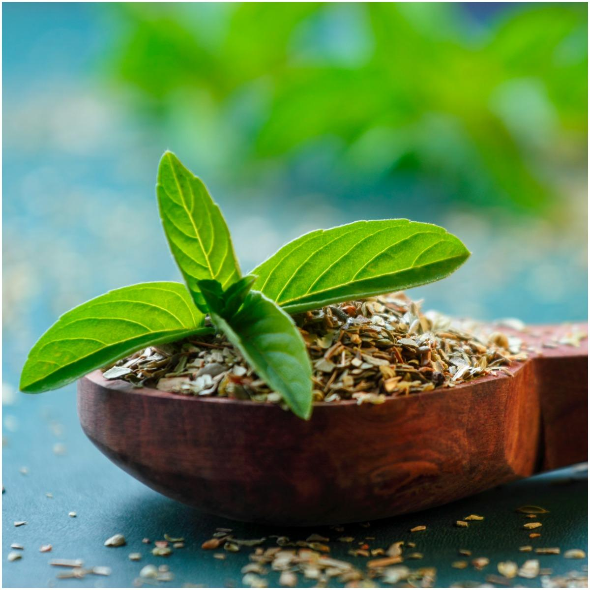 Holy Basil Plant That Create Positive Energy In Your Home