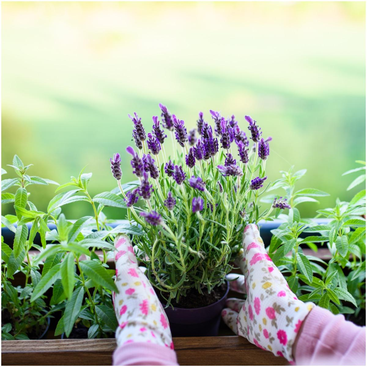 Lavender Plant That Create Positive Energy In Your Home