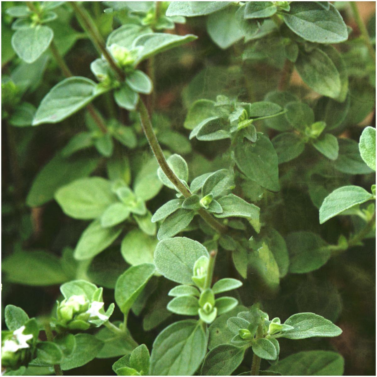 Oregano Plant That Create Positive Energy In Your Home