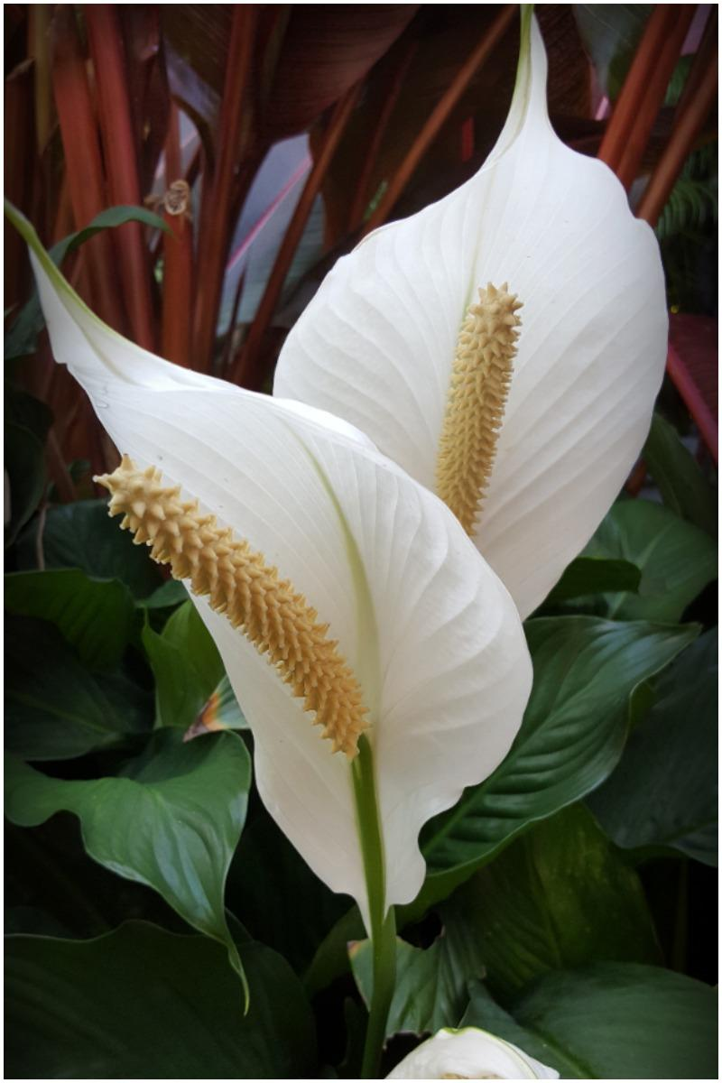 Peace Lily Plant That Create Positive Energy In Your Home