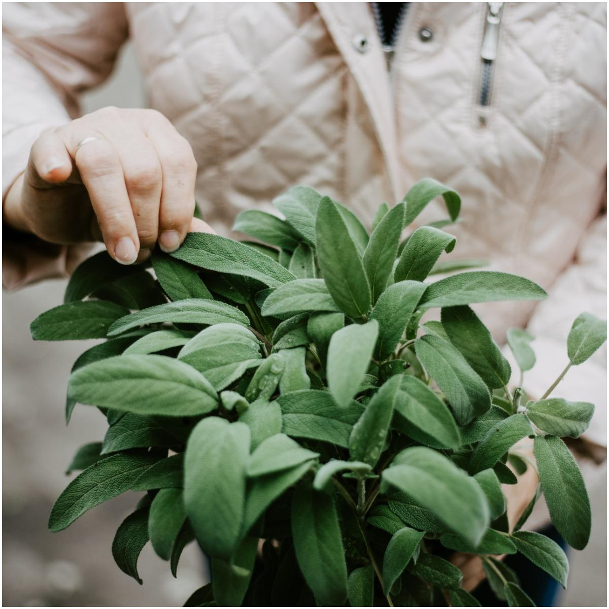 Sage Plant That Create Positive Energy In Your Home