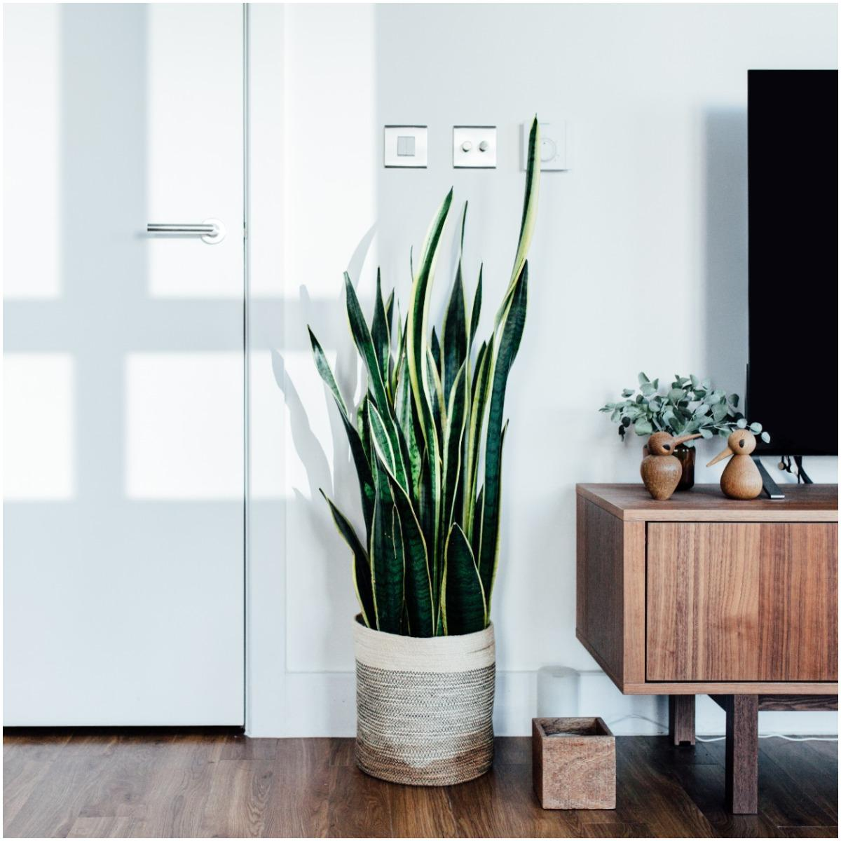 Snake Plant That Create Positive Energy In Your Home